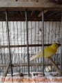 Canarios Amarillos y Blancos
